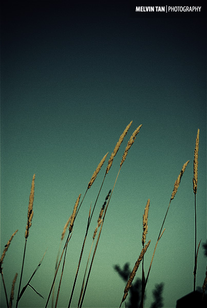 Indian Grass Seed